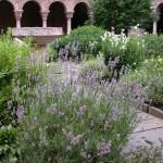 "Lavandin (Lavandula Xintermedia \""Grosso\"" growing in Cuxa Cloister Garth Garden."