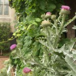 Cotton thistle flourishing in Bonnefont Garden.