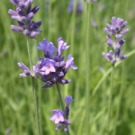 True or English Lavender (L. angustifolia subspecies angustifolia growing in Bonnefont Herb Garden.