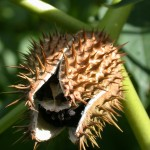Datura stramonium relies primarily on seed for reproduction.