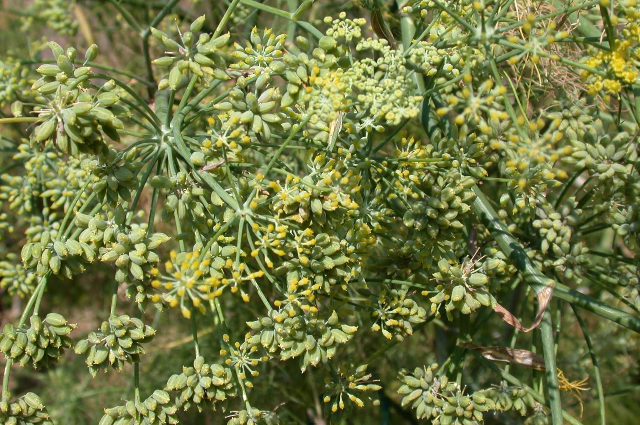 Ripening fennel fruits