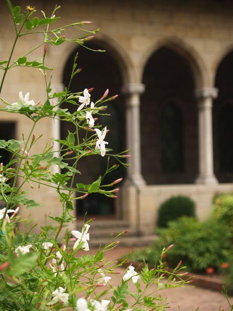 <em>Poet's jasmine, Jasminum officinale</em>