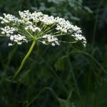 Anise (<i>Pimpinella anisum</i>) in flower, Bonnefont Herb Garden