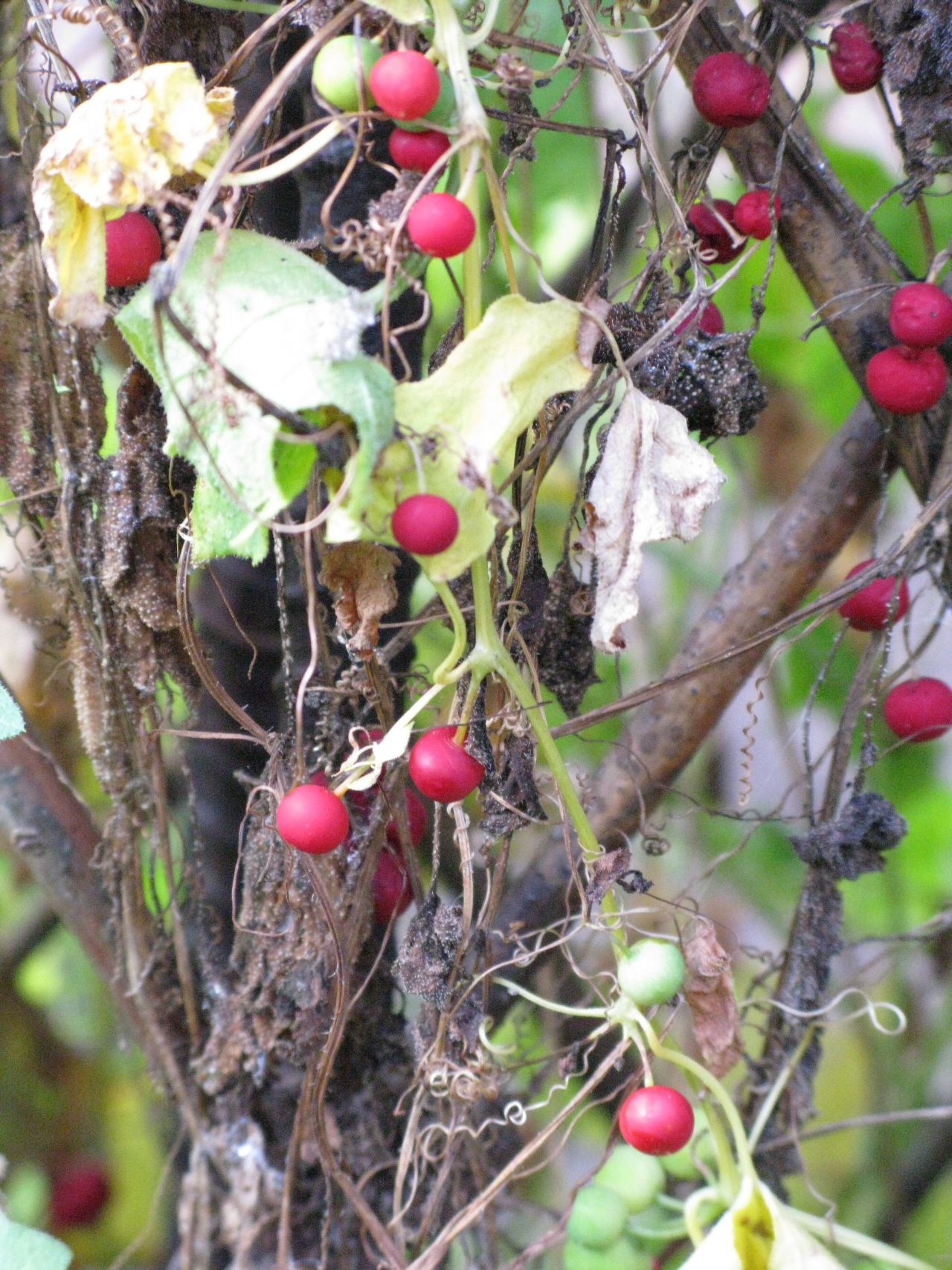 Red bryony vine in fruit in October
