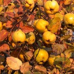 Ripe quinces in late October