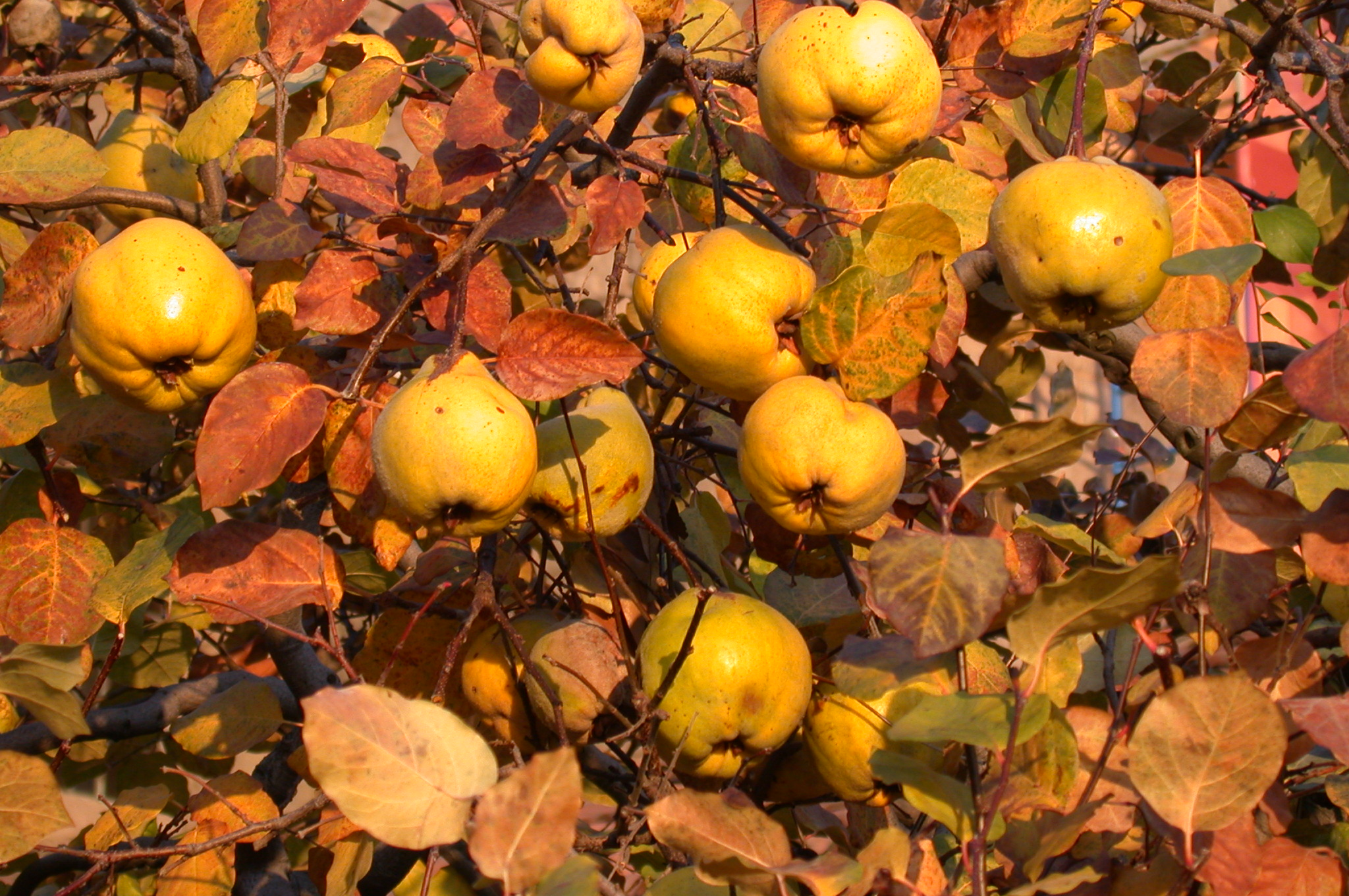 The golden quince the medieval garden enclosed the above ripe quinces in late october buycottarizona