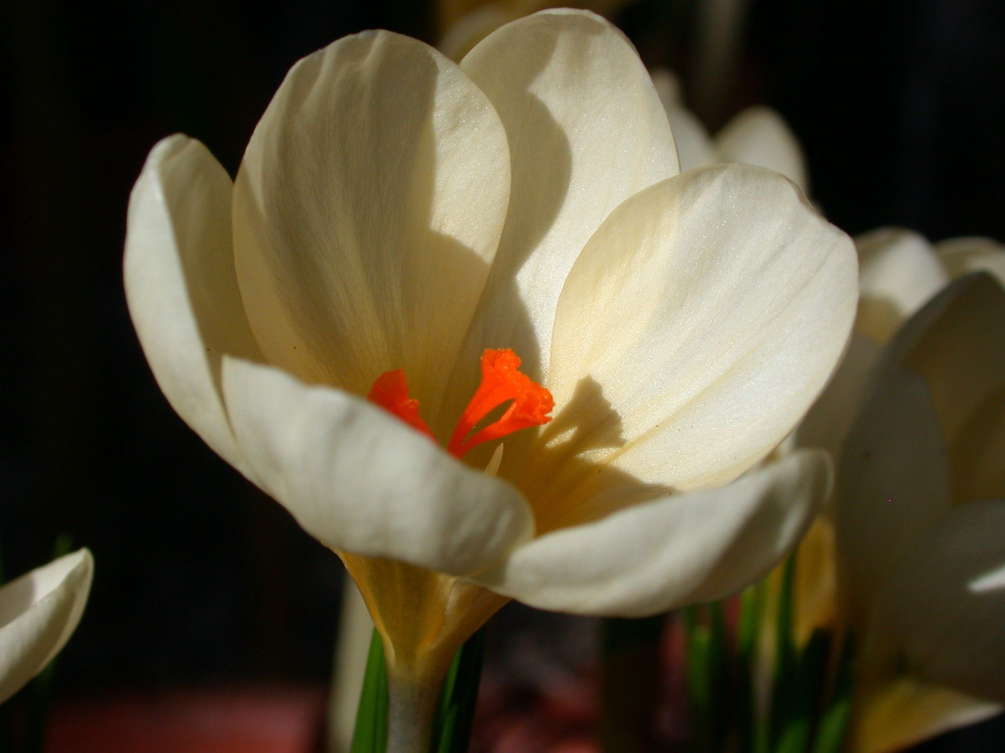 <em>Crocus chrysanthus</em> 'Cream Beauty'