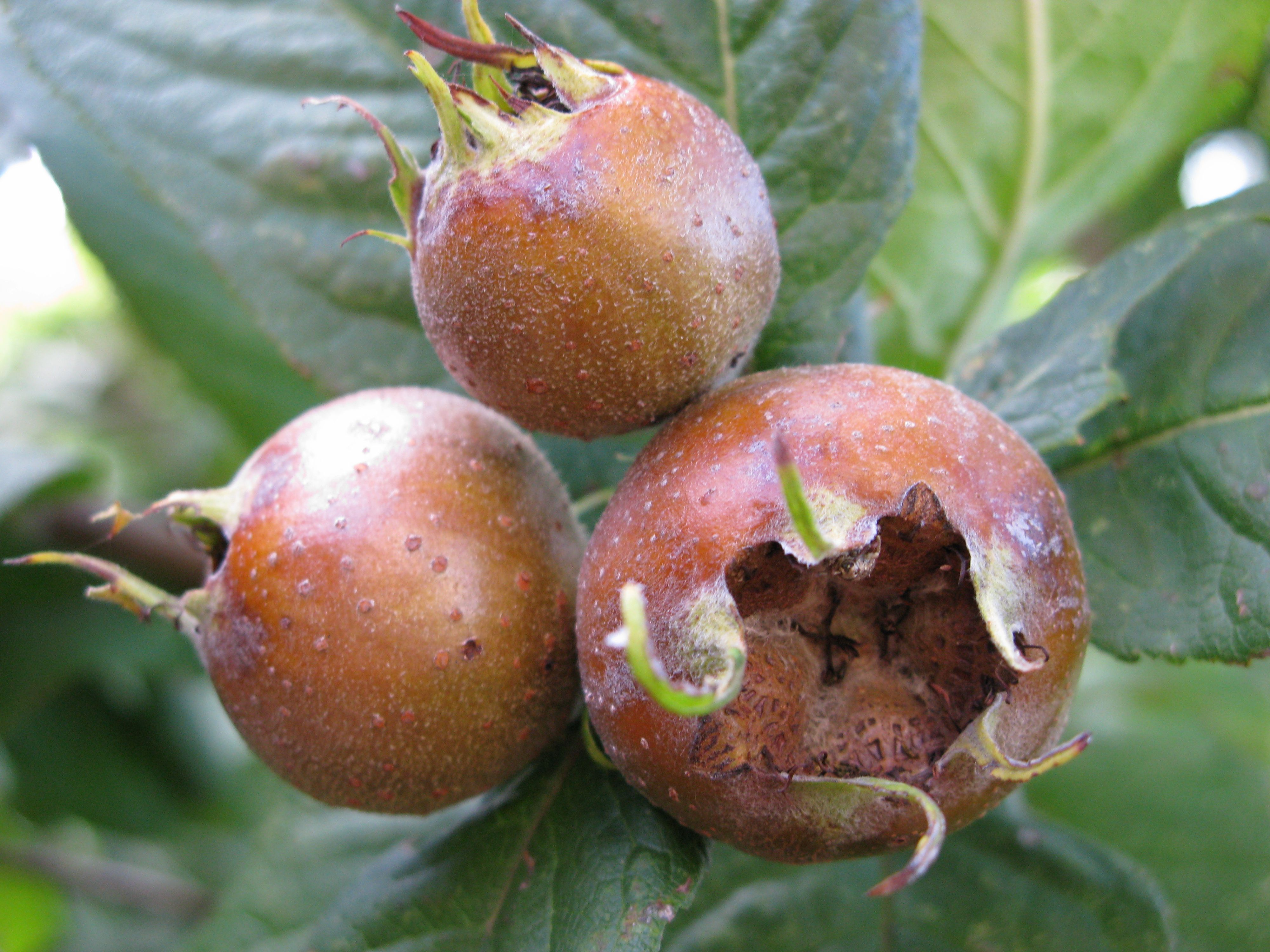 Medlar fruit in mid-autumn