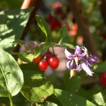 Woody nightshade in fruit and flower