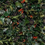 Red-berried holly and black-fruited ivy