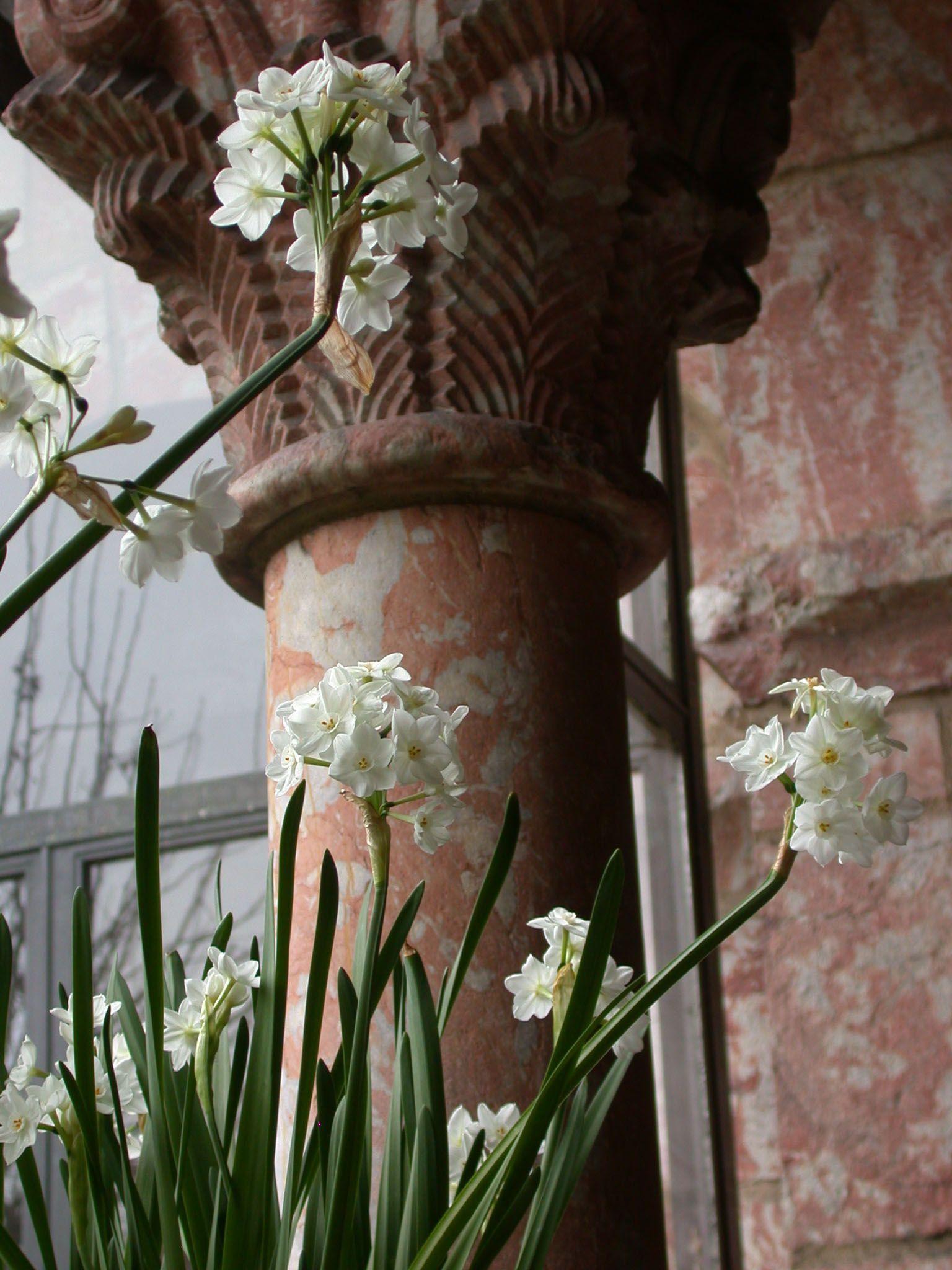 Narcissus tazzetta