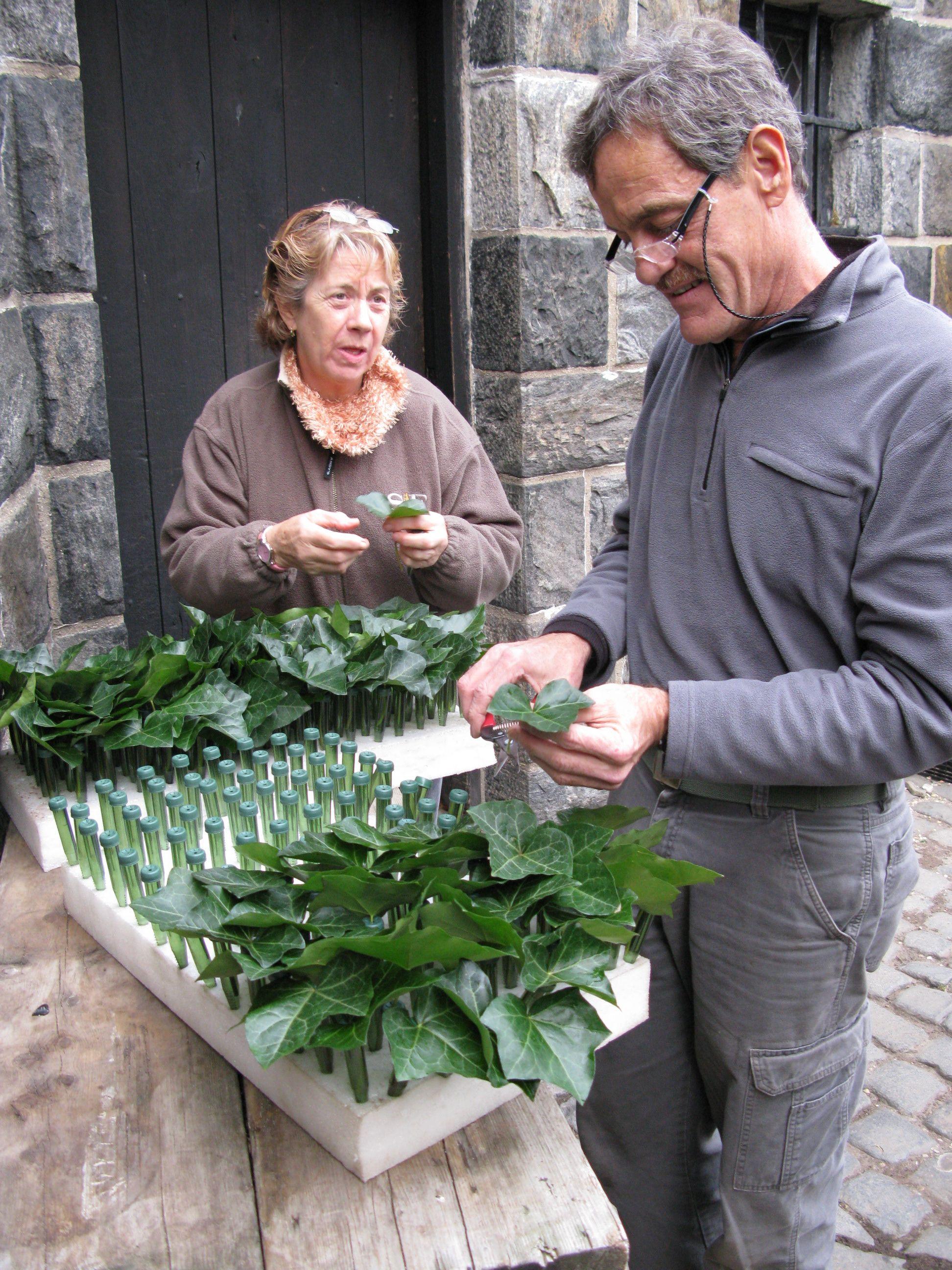 Preparing the ivy