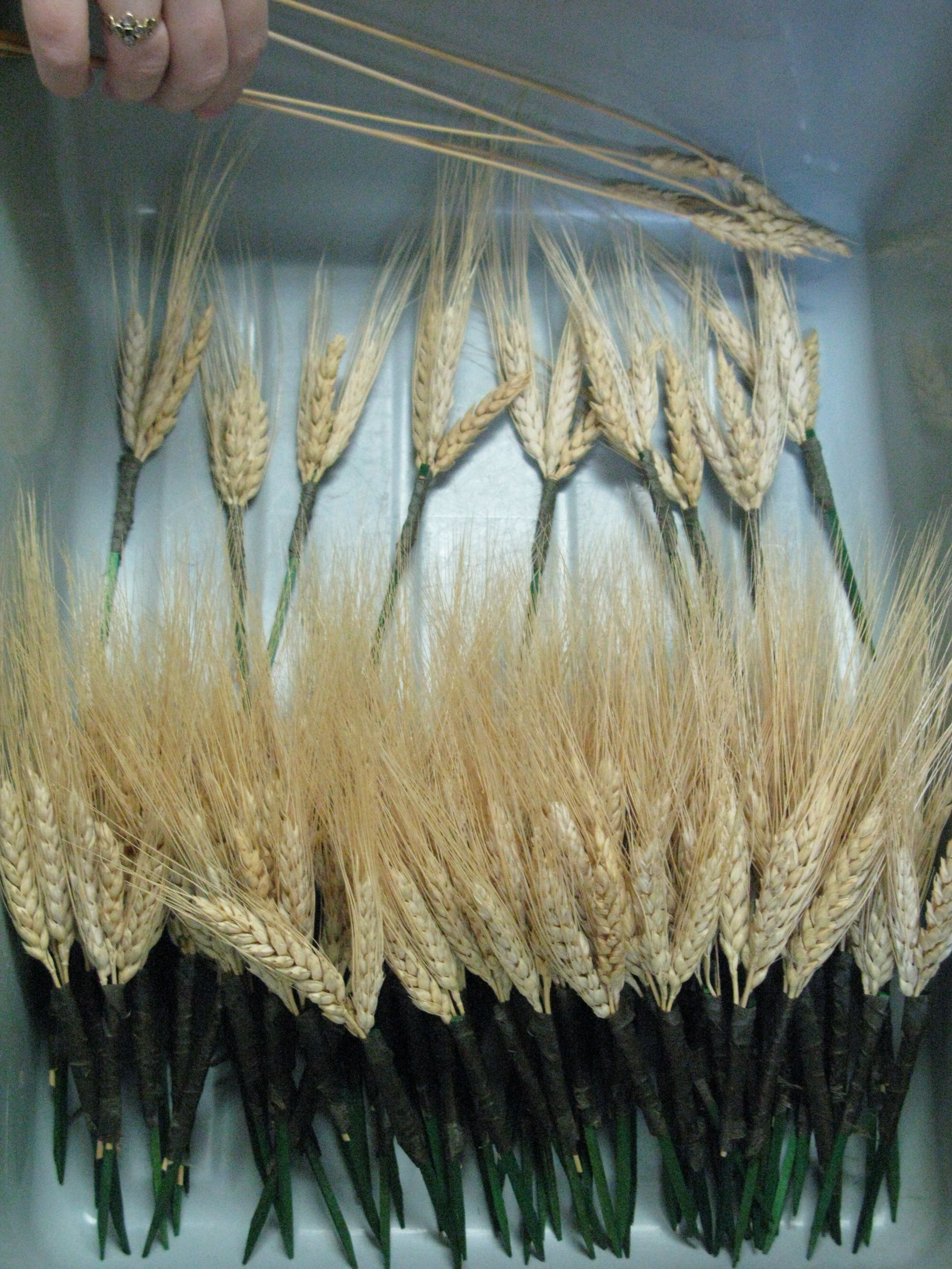 Ears of wheat wired to florist's picks