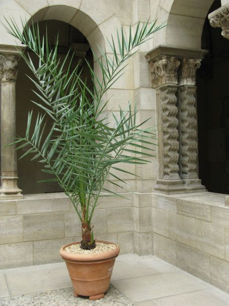 Potted Date Palm in Saint-Guilhem Cloister