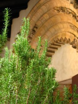 Rosemary in Cuxa Cloister