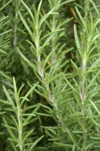 Rosemary Stems