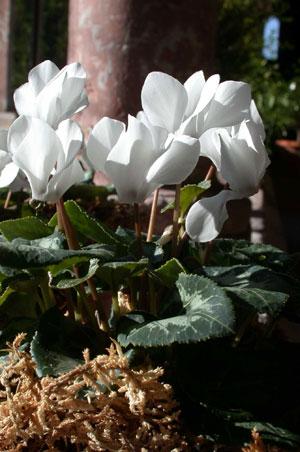 Cyclamen (Cyclamen persicum)