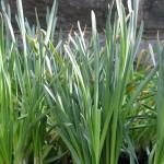 Spent Daffodils