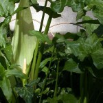 Arum italicum in Flower