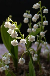Another Look at Lily of the Valley