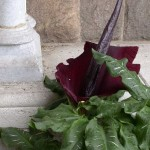 Dragon arum in Bonnefont garden