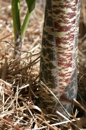 Dragon arum stems
