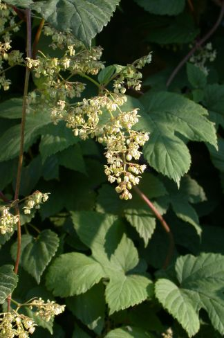 Male Flowers of the Hop (Humulus Lupulus)