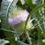 Detail of Dipsacus fullonum