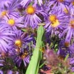 Mantis in Cuxa Garden