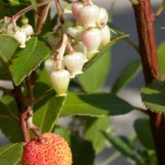 Detail of Arbutus unedo in fruit and flower
