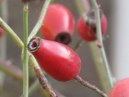 Detail of Rose Hips