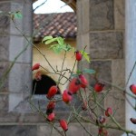 Rose hips in Bonnefont Cloister
