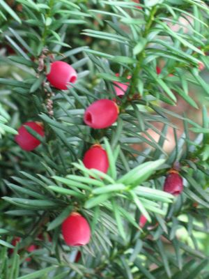 Fruit of the Yew Tree