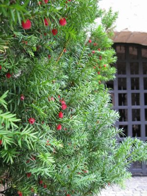 Yew Tree at The Cloisters
