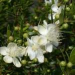 Myrtle Blossoms