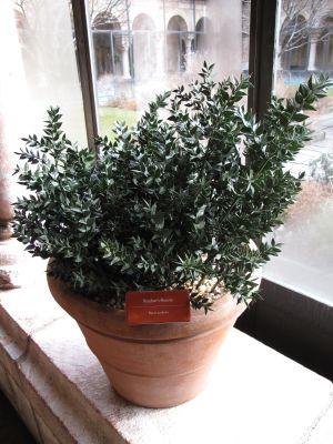 Ruscus aculeatus in Cuxa Cloister