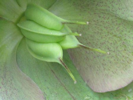 Helleborus seed capsules