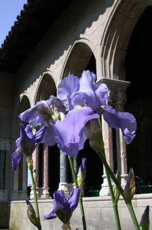 Iris pallida uncropped
