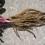 Skirret Foliage and Roots