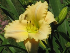 Hemerocallis 'Jane Hayward'