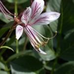 Dictamnus albus in Flower
