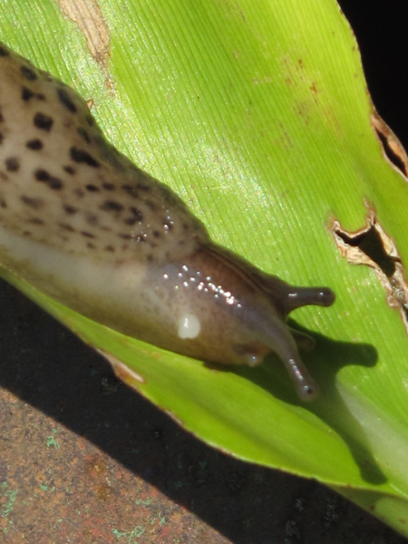 Garden Slug on a Leaf