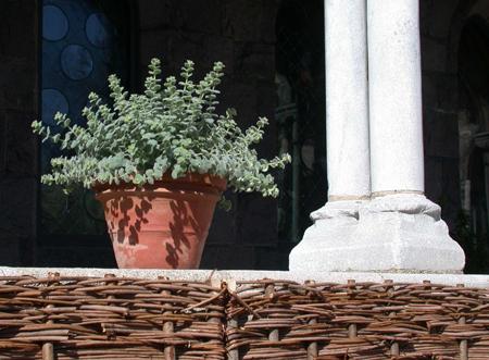 Origanum dictamnus