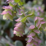 Origanum dictamnus in Flower