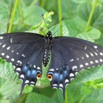 Black Swallowtail Dorsal View