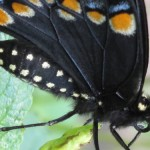 Black Swallowtail Ventral View
