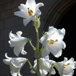 Madonna lily (&lt;i&gt;Lilum candidum&lt;/i&gt;)