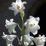 Madonna lily (<i>Lilum candidum</i>)