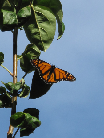 Monarch: Dorsal View