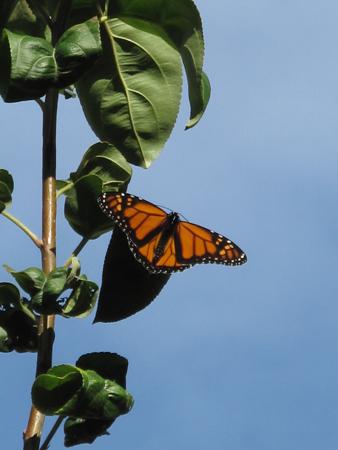 Monarch: Dorsal View